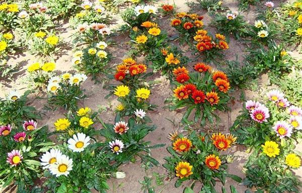 выращивание герберы в саду