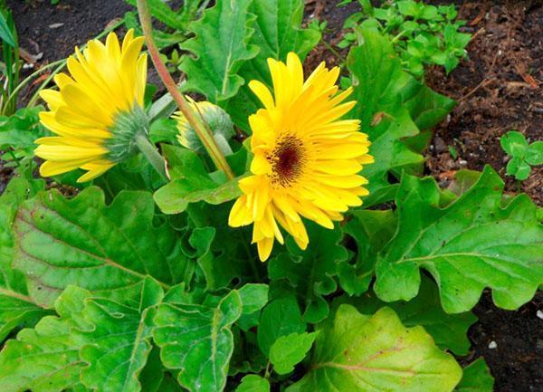 обильное цветение на клумбе