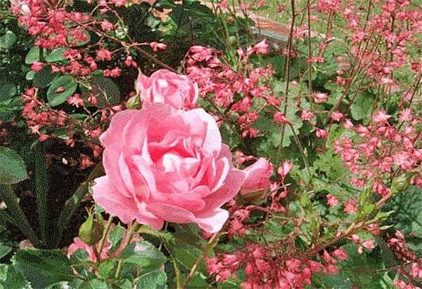 гейхера среди роз