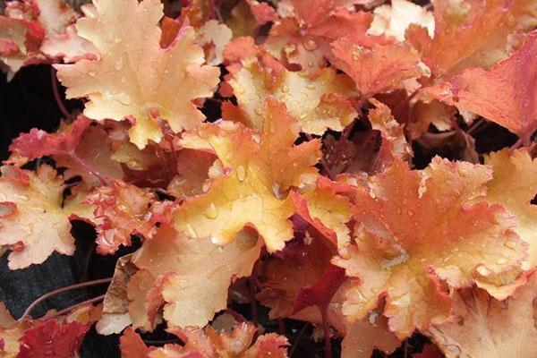 листья гейхеры меняет расцветку