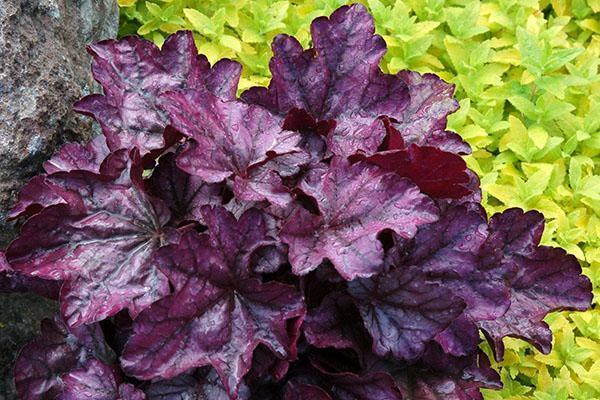 темно-бордовый окрас листвы гейхеры