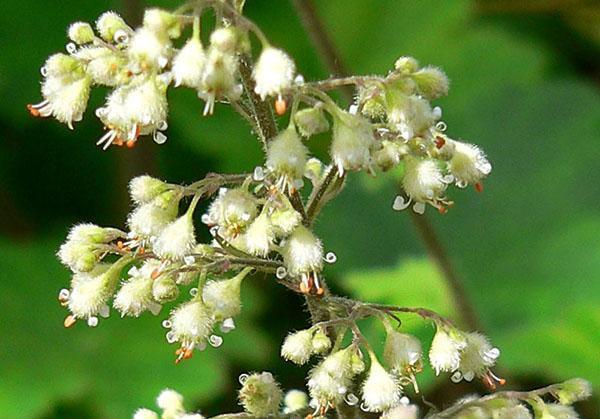 белое цветение гейхеры
