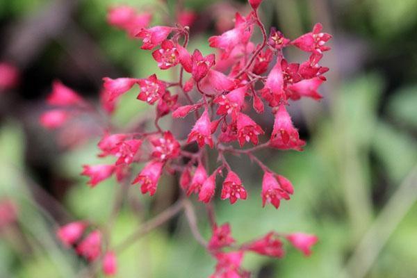 розовые цветы гейхеры