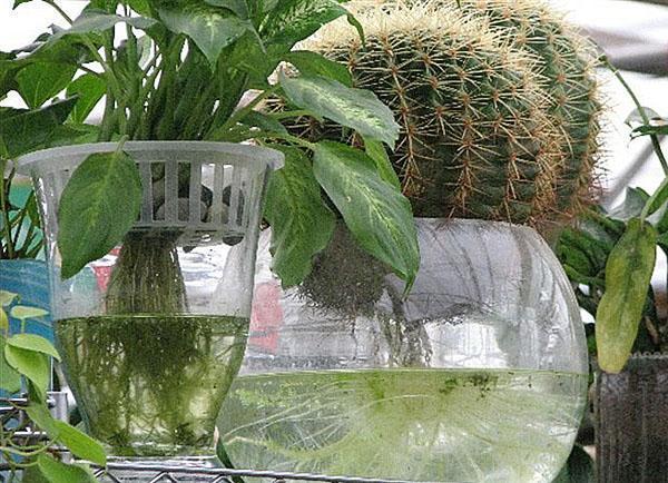 комнатные растения на гидропонике