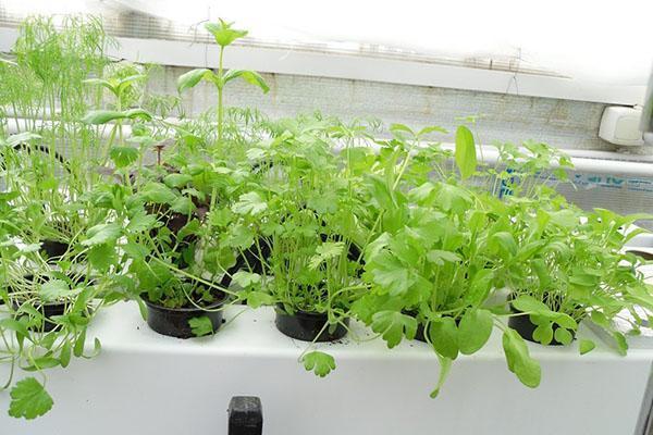 ароматная зелень на гидропонике
