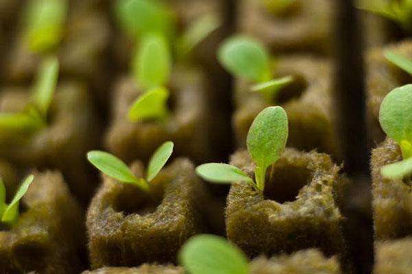 выращивание рассады в минеральной вате