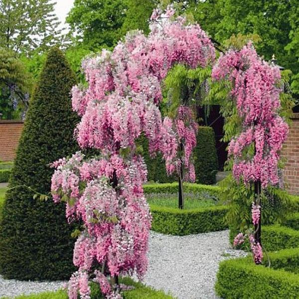 садовая арка из глицинии