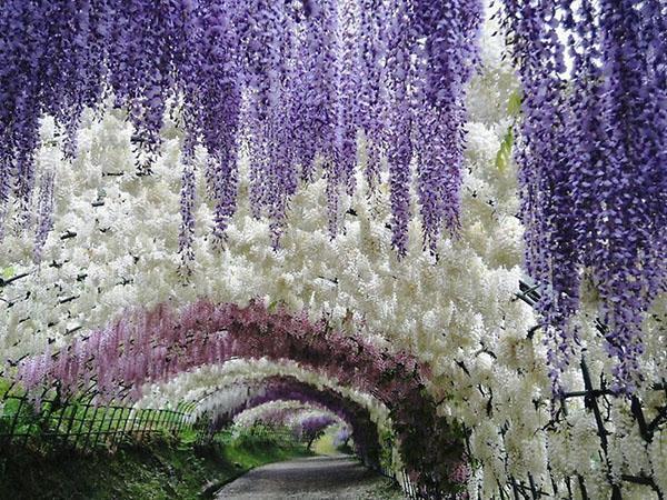 тунель из глицинии в ботаническом саду