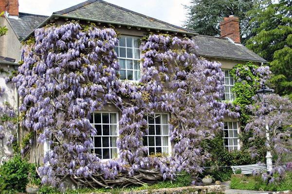 украшение дома глицинией