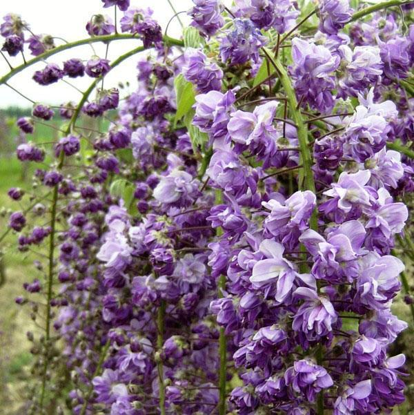 Глициния обильноцветущая Violaceo-plena