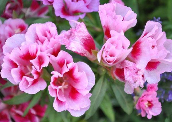нежно-розовое цветение