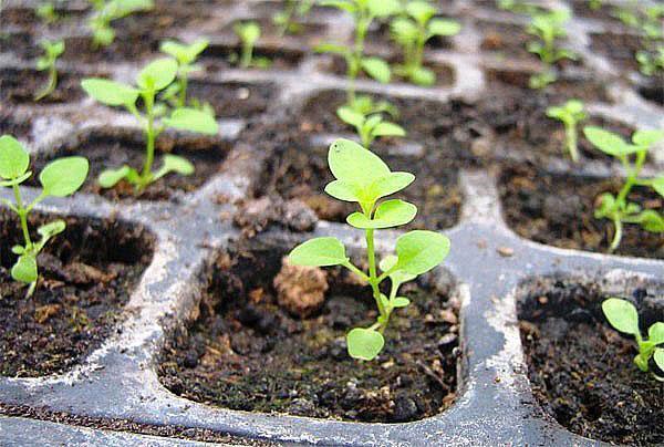 взошли семена годеции
