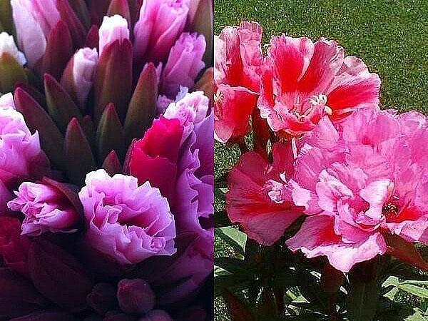 годеция с махровыми цветками