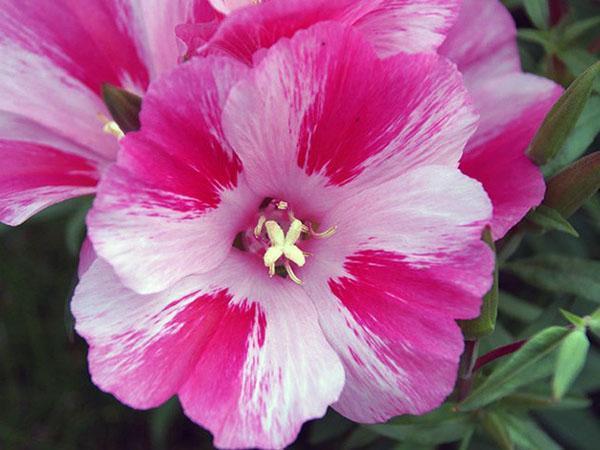 пестрые цветы годеции