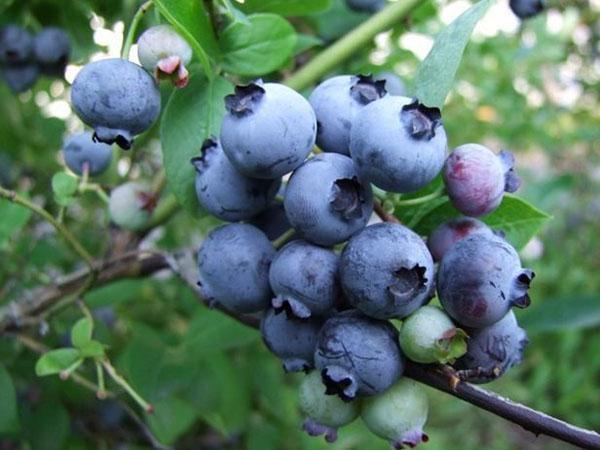 плоды голубики