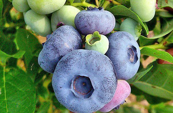 ягоды голубики Патриот