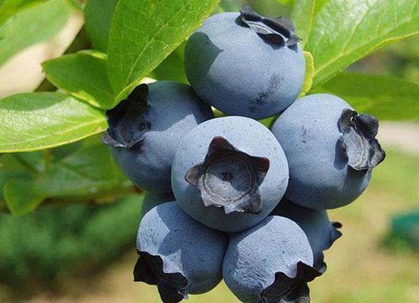 плоды гибридной голубики