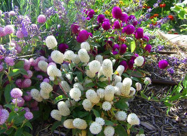 цветет гомфрена в саду
