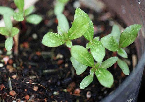 выращивание рассады гомфрены