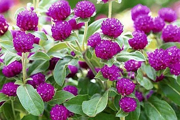 цветение гомфрены в открытом грунте