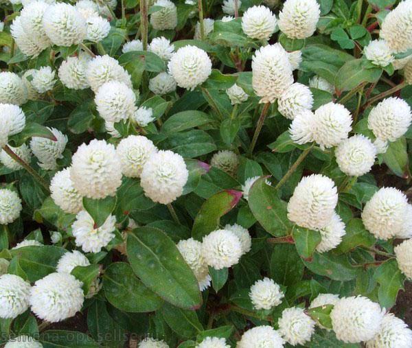 снежно-белые цветы