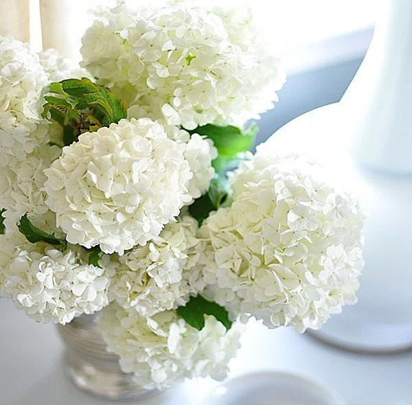 белоснежные цветы гортензии