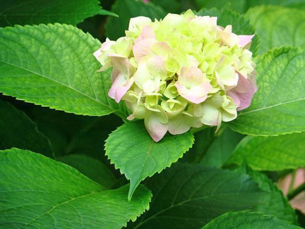 нежно-салатовые цветы