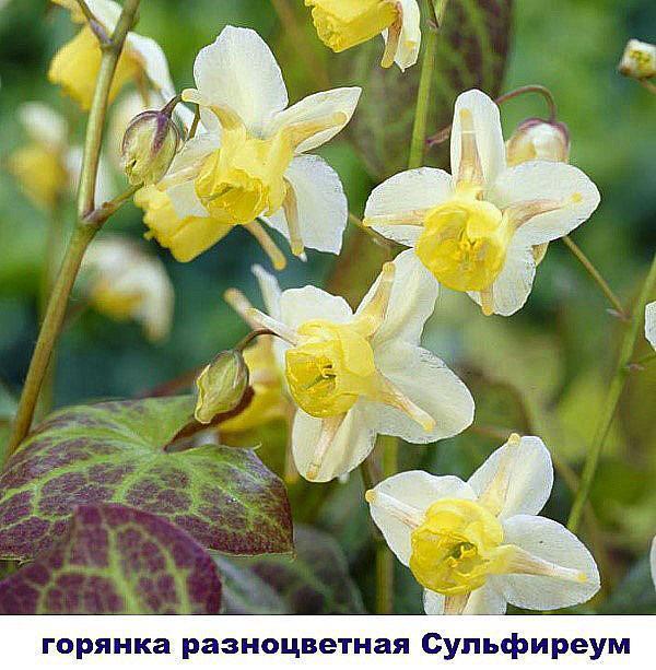 горянка Сульфиреум