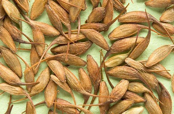 семена гравилата
