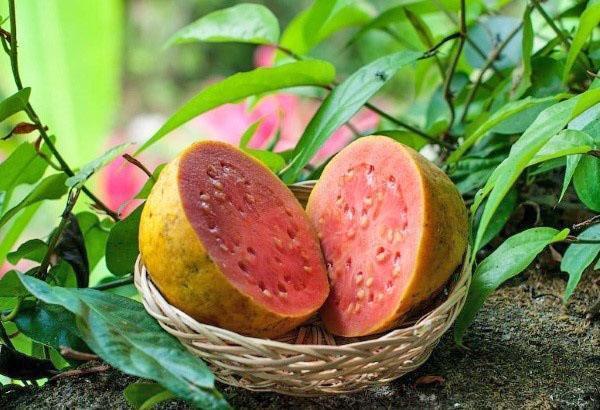 тропическое яблоко гуава