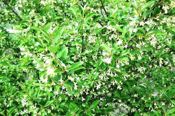 Лох многоцветковый гуми или гумми урожайный