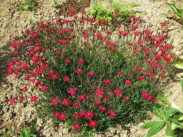 пышный куст гвоздики травянки в саду