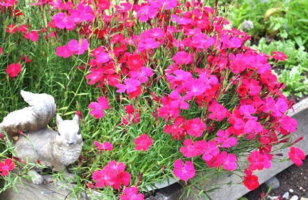 клумба многолетней гвоздики травянки