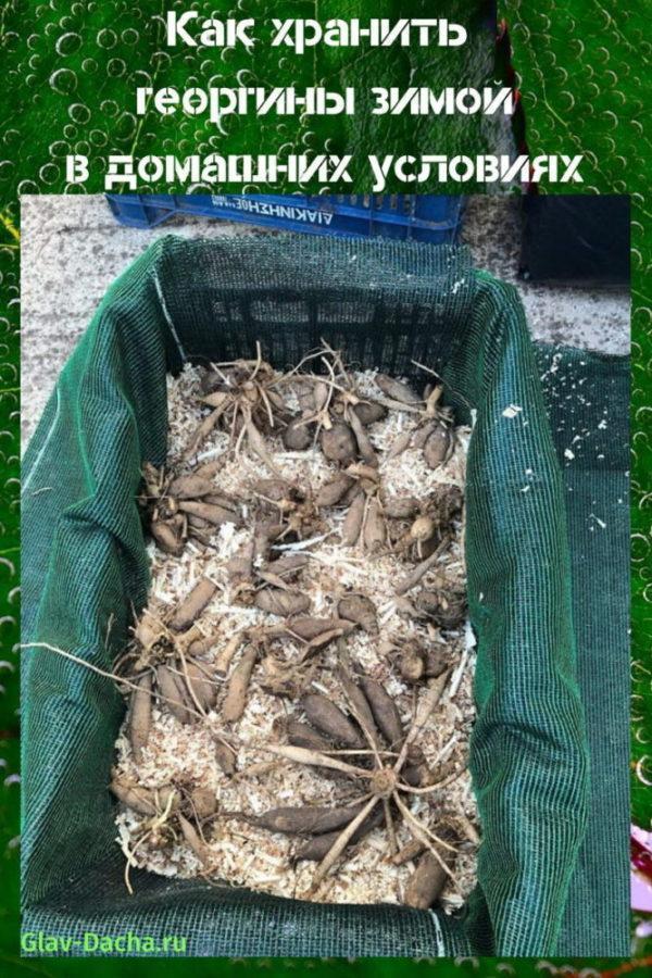 как хранить георгины зимой