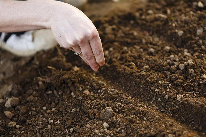 посев лаванды в открытый грунт осенью