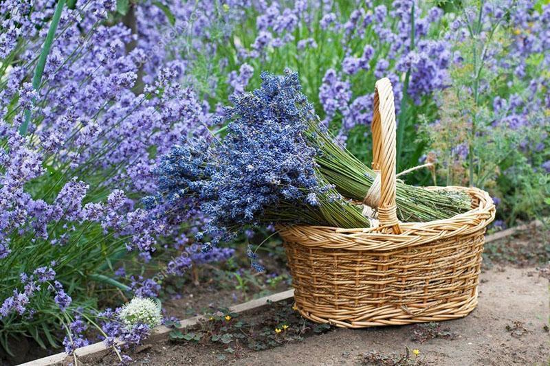 срезка цветов лаванды