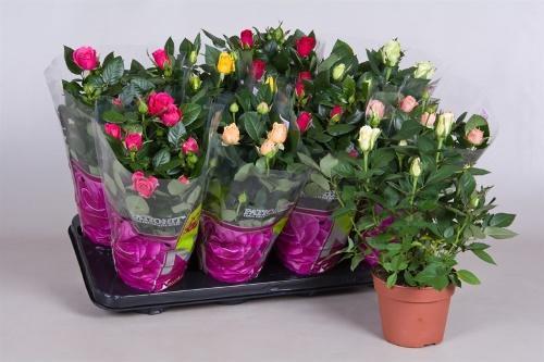 магазинные розы
