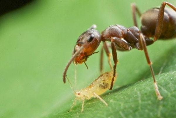масло гвоздики в борьбе с муравьями и тлей