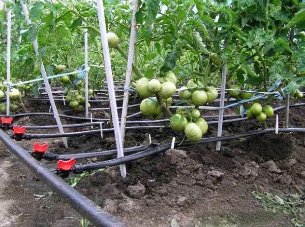 оросительная система для полива помидор