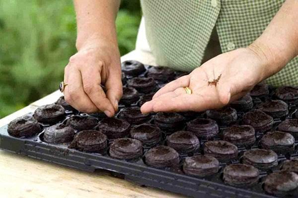 высадка семян в торфяные таблетки