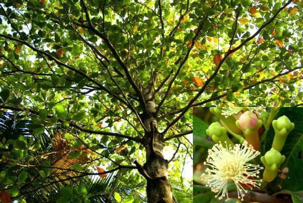 крона гвоздичного дерева