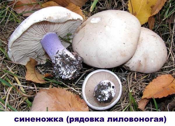 гриб синеножка