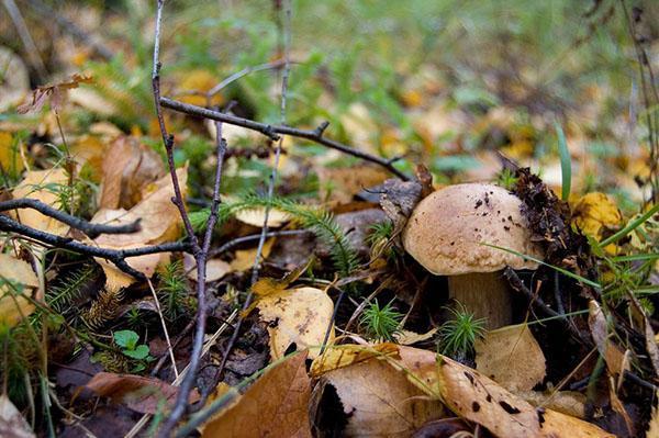 прячутся съедобные грибы