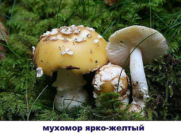 мухомор ярко-желтый
