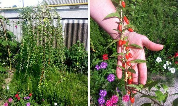 Доступная экзотика для ваших садов - ягода годжи