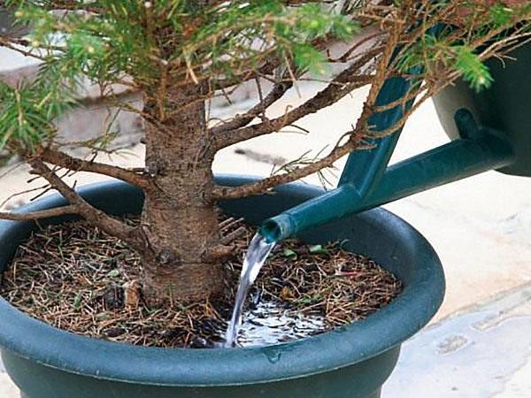 полив елки в горшке