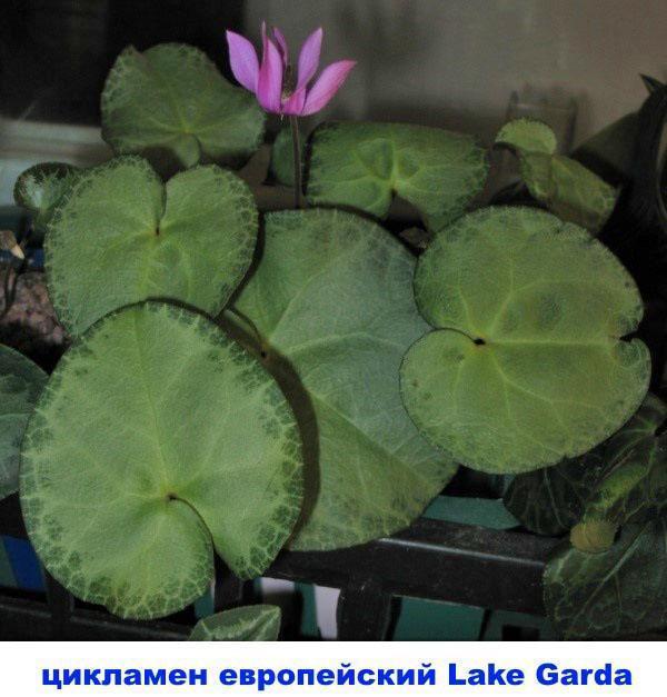 цикламен европейский Lake garda