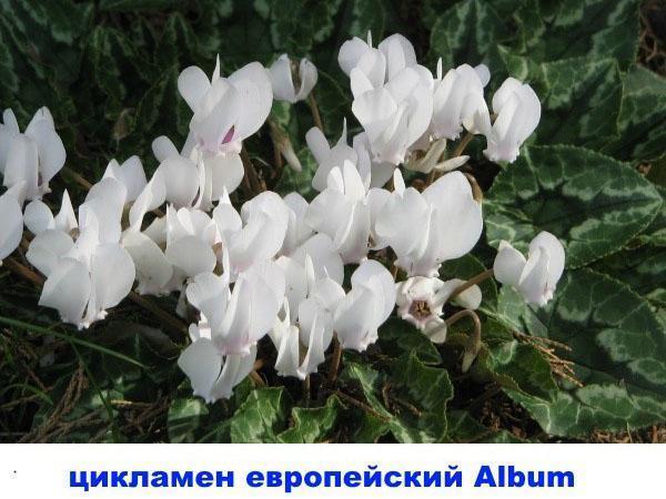 цикламен европейский Album