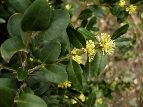 цветение самшита