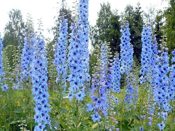 небесно-голубое цветение
